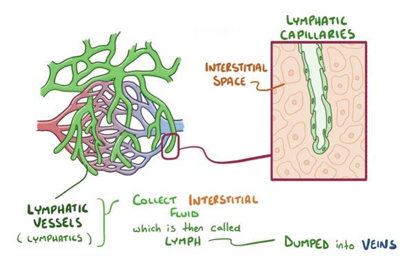 distribution of lymphatic capillaries