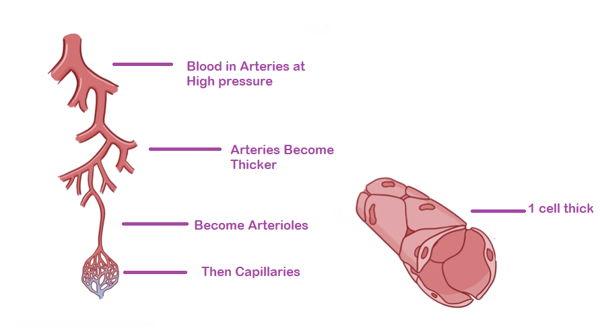 human lymphatic system